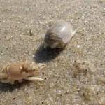 MoleCrabs_njseagrantdotrorg