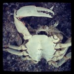 Why do I always see so many dead crabs along the shoreline?
