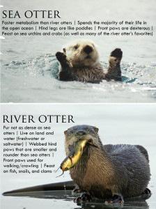 Sea otter image (c) tomstick.com, river otter image (c) local.brookings.k12.sd.us