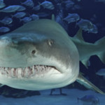 Sand tiger shark at the Georgia Aquarium. Image (c) Underwater Times