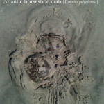 What happens if the tide leaves a horseshoe crab stranded?