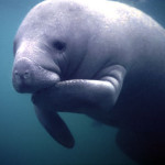 Are manatees and elephants related?
