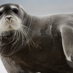 Ho, ho, ho! Look who's coming to town … it's the bearded seal!