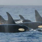 Sink your teeth into this: 15 facts about orcas