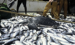leatherback_worldwildlifedotorg