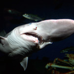 070209-goblin-shark_big