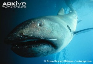Megamouth-shark