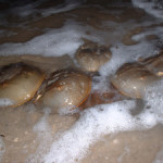 The short and sweet of horseshoe crab spawning