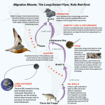 "From USFWS ""Miracle Migration: The Long Distance Flyer, Rufa Red Knot"""