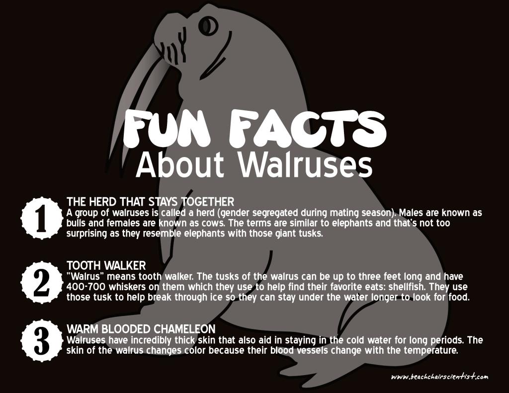 walruses_beachchairscientist