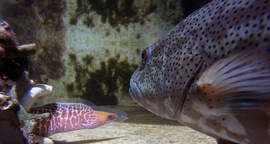 Giant moray and the roving coral grouper (also, known as a trout). Image (c) Science news